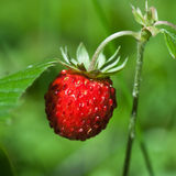 Wild strawberry closeup Stock Image
