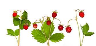 Wild strawberry collection Stock Image