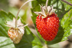 Wild strawberry. Royalty Free Stock Photos