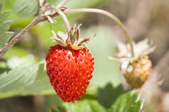 Wild strawberry. Stock Photo