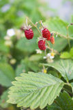Wild strawberry. Delicious and sweet berries Royalty Free Stock Image