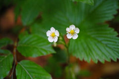 Wild strawberry florets Stock Photo
