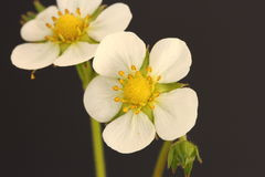 Wild strawberry flower Royalty Free Stock Photography