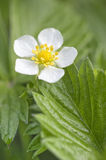 Wild strawberry flower. A closeup shot of white blossoming wild strawberry flower with yellow stamens and green leaves in spring Stock Photos