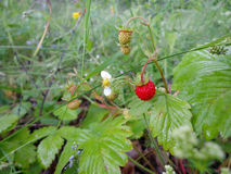 Wild strawberry. Flower, fruits and leaves of the wild strawberry Royalty Free Stock Photography
