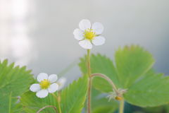 Wild strawberry flower Stock Photography