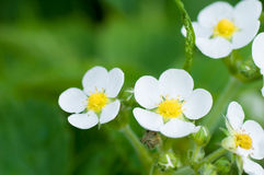 Wild strawberry flowers. On green Stock Image