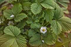 Wild strawberry flowers blossom in the garden royalty free stock photography