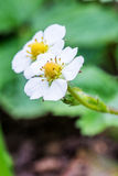 Wild strawberry flowers Royalty Free Stock Image