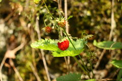 Wild strawberry in forest Stock Image