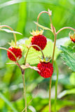 Wild strawberry in forest. Macro shot , focus on a foreground royalty free stock photography