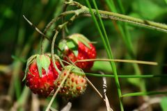 Wild strawberry in the forest royalty free stock images