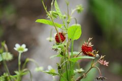 Wild strawberry in the forest royalty free stock photos