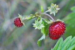 Wild strawberry (Fragaria vesca) stock photos