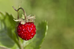 Wild strawberry, Fragaria vesca Stock Photos