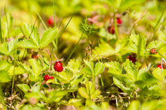 Wild strawberry. Fragaria vesca, also known as woodland, alpine or european strawberry royalty free stock photography