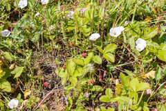 Wild strawberry Royalty Free Stock Image