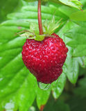 Wild strawberry (Fragaria vesca) Royalty Free Stock Photos