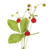 Wild strawberry. Fragaria vesca, fruit, flowers and foliage isolated against white royalty free stock photography