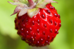Wild Strawberry - Fragaria vesca Stock Image
