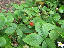 Wild strawberry, Fragaria vesca Stock Photography