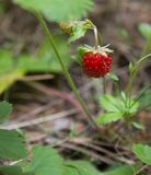Wild strawberry. Fresh ripe wild strawberries in the forest stock photo