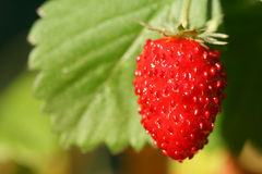 Wild strawberry fruit. Wild strawberry - closeup of the red ripe fruit on plant Royalty Free Stock Image
