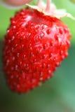Wild strawberry fruit Stock Photo