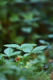 Wild strawberry fruit. And plant Stock Image