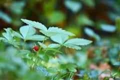 Wild strawberry fruit. And plant Stock Photo