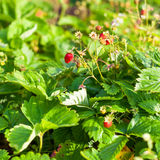 Wild strawberry in the garden Royalty Free Stock Photography