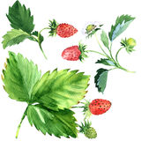 Wild strawberry with green leaves and red fruit, watercolor illustration Royalty Free Stock Photo