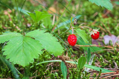 Wild strawberry growing in natural environment. Macro Royalty Free Stock Images