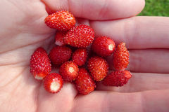 Wild strawberry in hand Stock Photography
