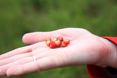 Wild strawberry hand full of wild strawberries Royalty Free Stock Photo