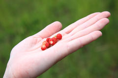 Wild strawberry hand full of wild strawberries Stock Photo