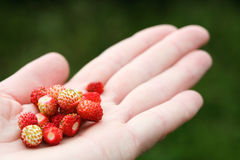 Wild strawberry hand full of wild strawberries Royalty Free Stock Image