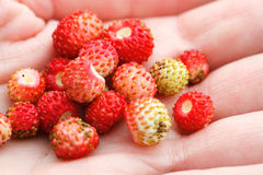 Wild strawberry hand full of wild strawberries Royalty Free Stock Photos