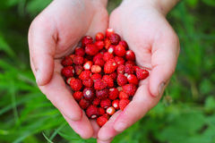 Wild strawberry in hands Royalty Free Stock Images