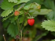 Wild strawberry, Royalty Free Stock Image
