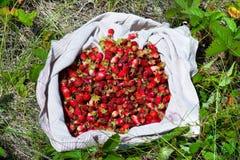 Wild strawberry. Heap of crop wild strawberry on fabric in field Stock Photos