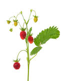 Wild strawberry isolated Royalty Free Stock Photos
