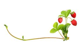Wild strawberry isolated Royalty Free Stock Photography