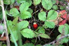 Wild strawberry. Juicy wild strawberry in the autumn foliage Royalty Free Stock Image