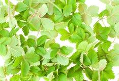 Wild strawberry leaf Stock Photography