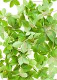 Wild strawberry leaf Stock Photos