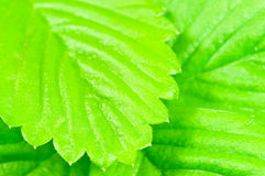 Wild strawberry leaves Stock Photo