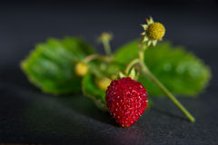 Wild strawberry with leaves on black background Royalty Free Stock Photos