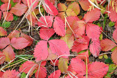 Wild strawberry leaves turn red. In autumn Royalty Free Stock Images