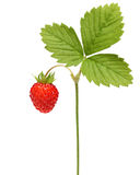 Wild strawberry  macro Stock Image
